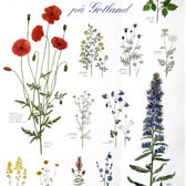 Poster. Flowers on Gotland.
